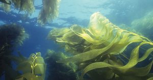 Colorado State University project to grow and harvest ocean macroalgae for biofuel production