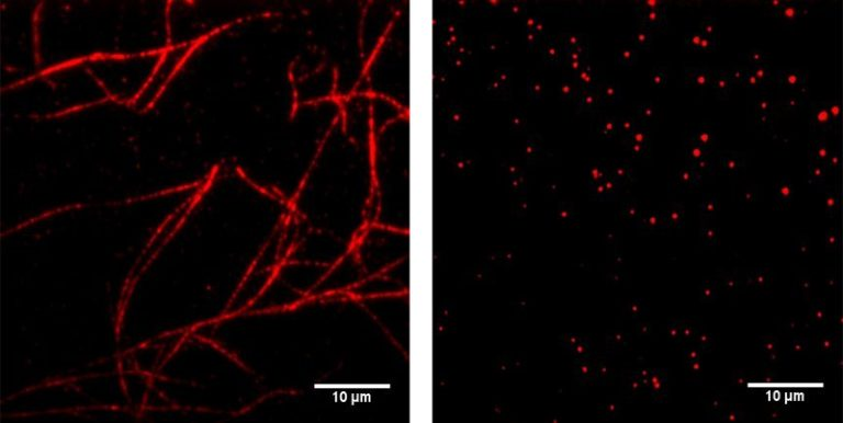 Fluorescently labeled fibrin network forms on a control surface (red fibers, left). Experimental biomimetic surface prevents fibrin network formation (right).